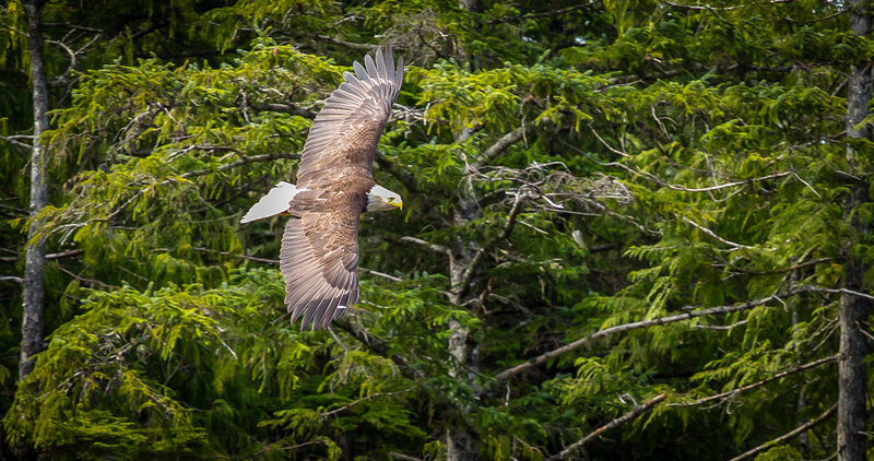 2014 Alaska_1072_Eagle Soar_7x5